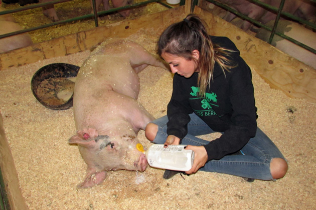 Haley Brixler from the Los Berros 4-H in Arroyo Grande tends to her pig, Cotton, at the Santa Maria Fairpark as part of the Santa Barbara County Fair, which opens Wednesday.