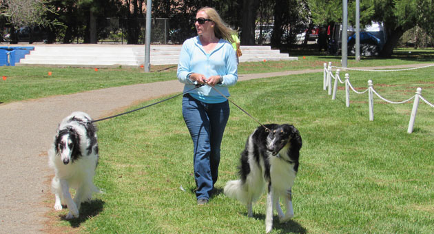 <p>Tricia Wiseman from Washington walks with her pair of borzoi dogs, Himself and Darwin, on Thursday at Ryon Memorial Park in Lompoc. The park is hosting a series of specialty and all-breed dog shows through Sunday.</p>