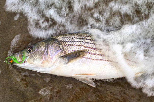 <p>Striped bass caught accidentally after limit is reached must be released.</p>