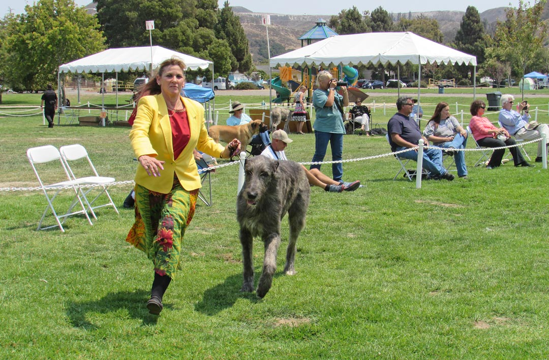 Corona resident Linda Randall  runs Arthur, 20 months old, in the Irish wolfhound specialty show at Lompoc's Ryon Park on Thursday.