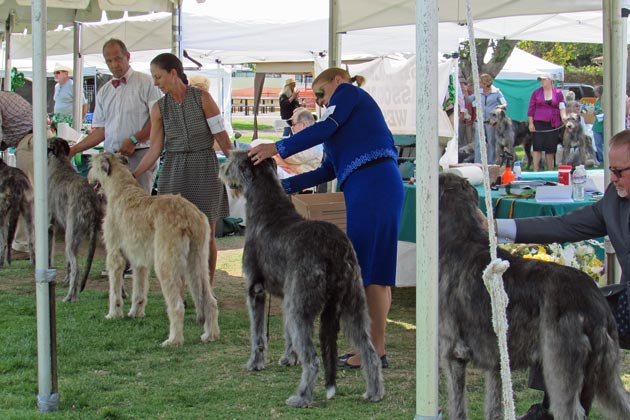 Irish wolfhounds and their humans prepare to pose for a judge at  Lompoc's Ryon Park.