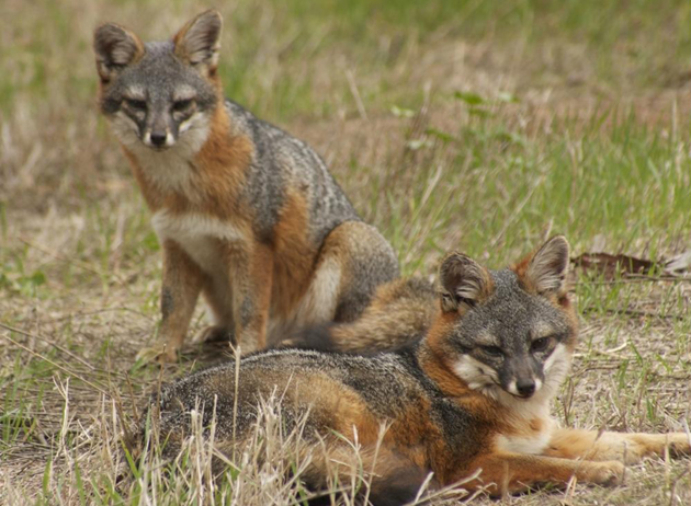 <p>This pair of island foxes (Urocyon littoralis santacruzae) are unique to Santa Cruz Island, the largest of California&#8217;s Channel Islands.</p>