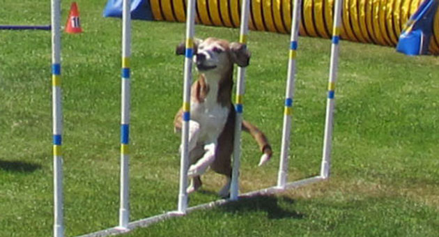<p>A dog goes through its paces Friday at the Santa Maria Kennel Club&#8217;s annual agility trials. The competition continues through the weekend.</p>