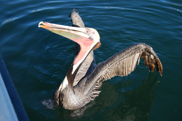 Brown pelicans may exhibit begging behavior, the birds need to remain wild and forage naturally. (Capt. David Bacon / Noozhawk photo)