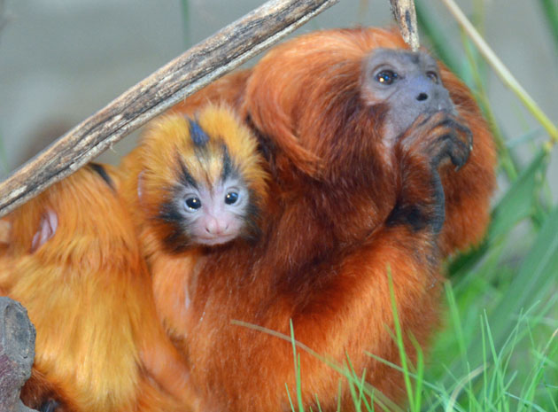 <p>A baby golden lion tamarin, born Sunday at the Santa Barbara Zoo, clings to its parent&#8217;s back in their exhibit.</p>