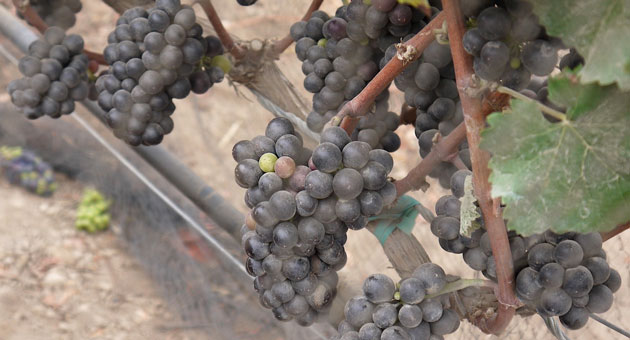 <p>Winemakers throughout Santa Barbara County are expecting an early harvest this year. At Lindley Vineyard in the Sta. Rita Hills, pinot noir grape clusters will likely be picked in early September, according to winemaker Jake Lindley.</p>