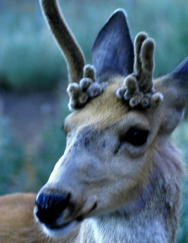 "<p>Deer that don't shed their antlers are commonly called ""stags.&#8221; This is usually the result of some kind of injury (or maybe deformity) of the testicles. Weird-looking antlers can also result from injury to the antlers while in velvet.</p>"