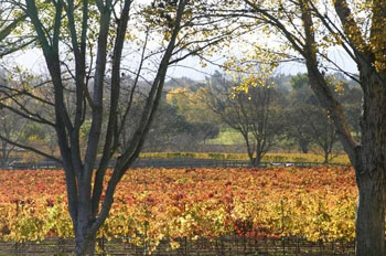 Autumn's amber hues animate the Santa Ynez Valley. (Susie Baum photo)