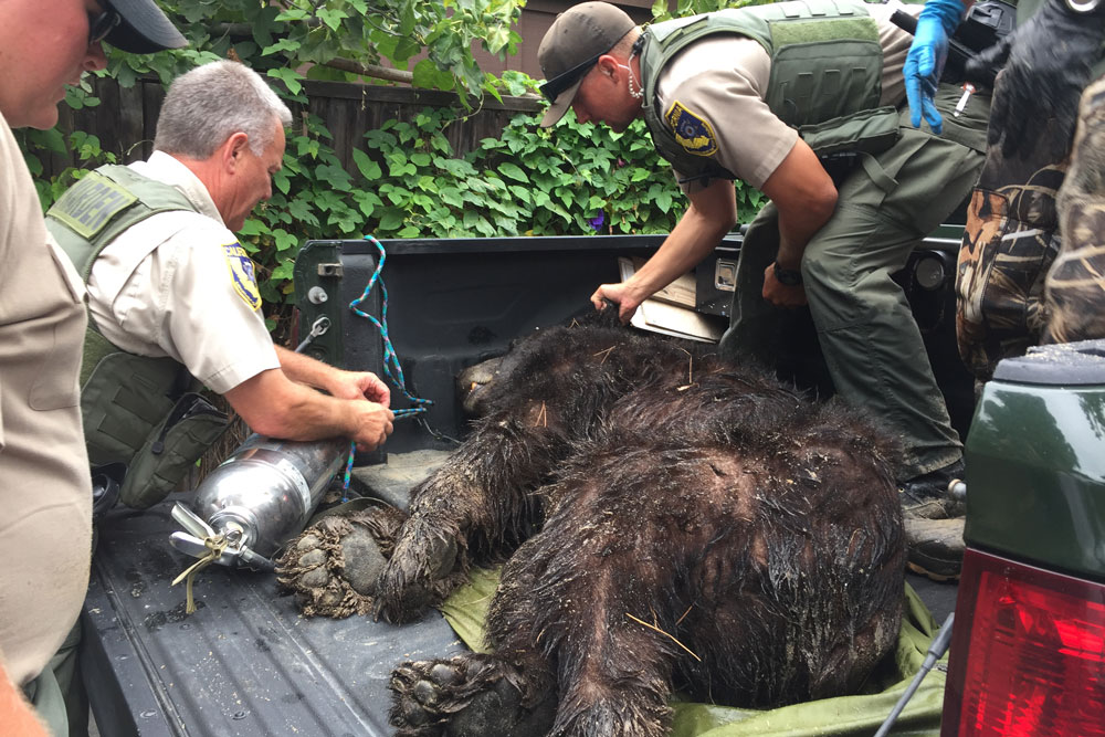 A black bear that wandered onto the beach at Rincon Point the previous day was tranquilized Sunday and taken for an examination by a veterinarian. The animal was found to be in poor condition and was humanely euthanized, according to the state Department of Fish & Wildlife.