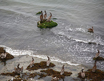 Brown pelicans keep watch over Santa Barbara Ranch's remote beach.