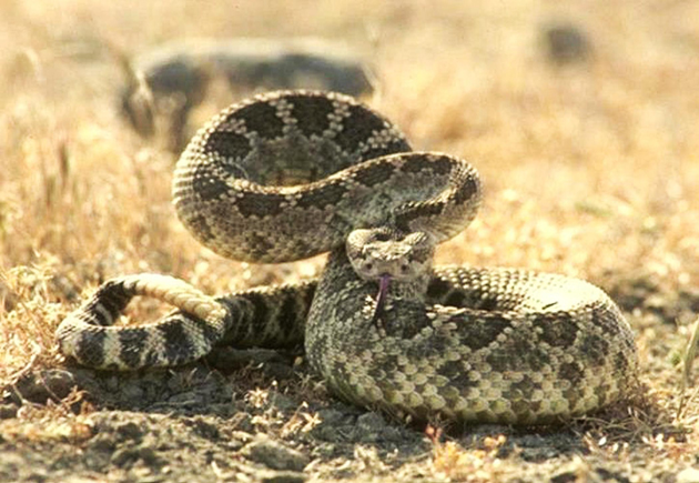 <p>Wildlife rehabilitation is regulated in California to ensure animals, including rattlesnakes, are cared for and housed properly and that their reintroduction into the wild is done very carefully.</p>