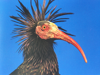 The Anthropozaen exhibit reveals the remarkable recovery of a European bird, the northern bald ibis. By the 1600s, its population was in the low hundreds because of hunting.