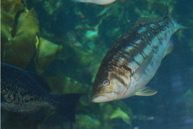 A lush kelp forest is ideal habitat for fish like this calico bass and blue rockfish.