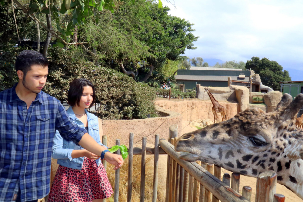 Leonardo and Angela Aguilar, the children of Ranchera singer Pepe Aguilar and grandchildren of Antonio Aguilar, feed lettuce to the Masai giraffes during a visit to the Santa Barbara Zoo on Tuesday.
