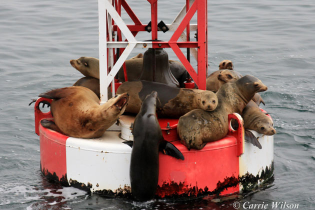 California sea lions and Pacific harbor seals have been federally protected under the Marine Mammal Protection Act since 1972.