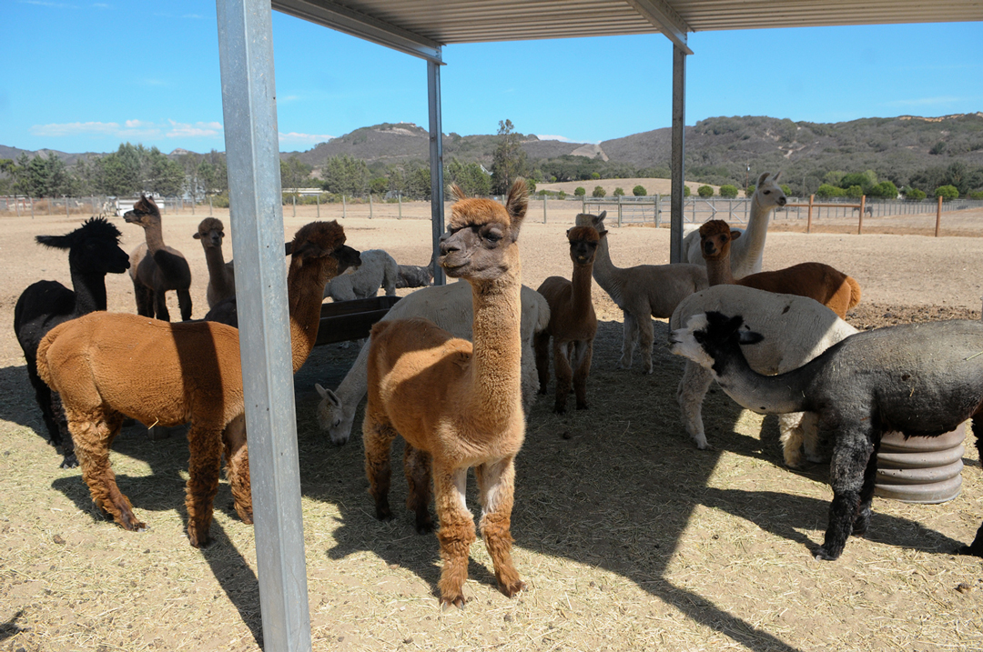 Ranch of the Oaks in Lompoc will be open to visitors during National Alpaca Farm Days on Sept. 26 through 27, and is a free event open to all ages.