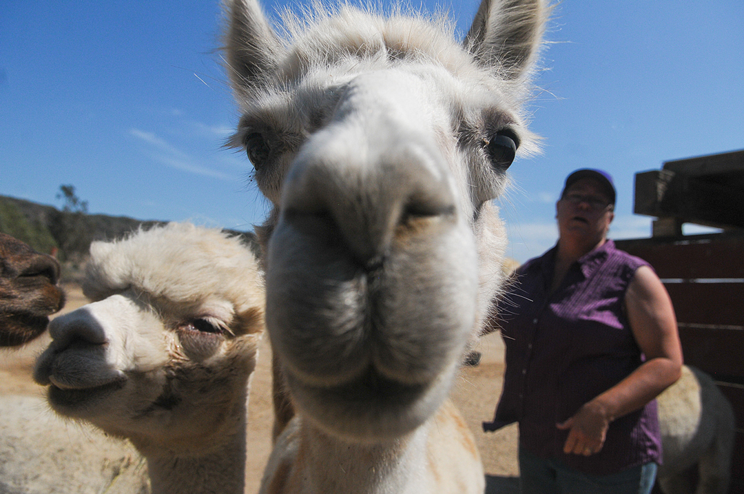 Alpacas check out the camera on Monday at Ranch of the Oaks in Lompoc near ranch co-owner Mette Goehring.