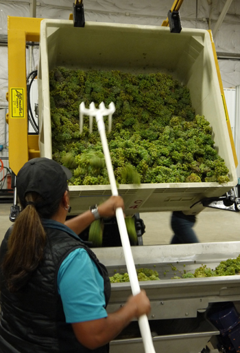 Tara Gomez of Kitá Wines shovels roussanne grapes from a picking bin and onto a sorting table.
