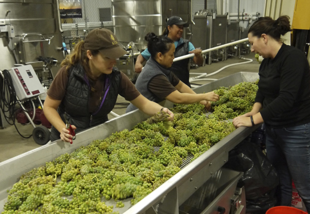 From left, Mireia Taribo, Eliza Rodriguez, Tara Gomez and Tymari LoRe sort roussanne grapes on a conveyer belt before they are lifted into the press.