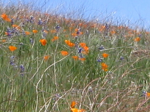 <p>The Santa Barbara Botanic Garden's entrance attraction — the wildflower meadow — is an eye-pleaser each spring, but this year's low rainfall has led to a particularly dry look.</p>