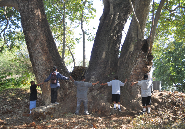 Goleta's Sister Witness Tree, recently designated as the National Champion California Sycamore Tree, measures 52.2 feet around, has a 95.5-foot canopy and a height of 94 feet. (City of Goleta photo)