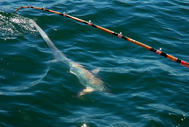 Thresher sharks have taken up residence in the waters off Goleta Beach. (Ramona Lisa Kelly photo)