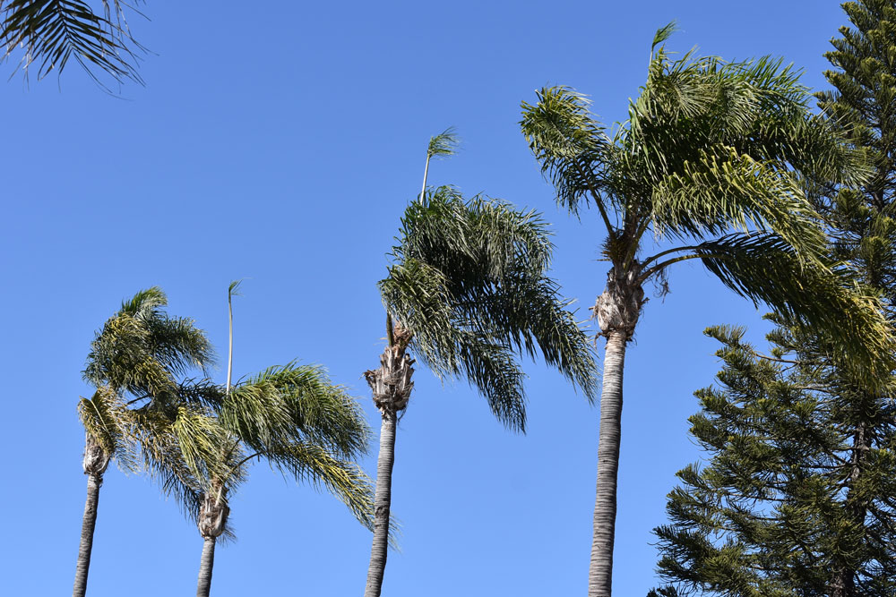 Palm trees bend in the wind Friday in Santa Barbara. Gusty winds and hot-and-dry conditions have prompted officials to issue a Red Flag Warning for fire danger from 3 a.m. Saturday until 10 a.m. Sunday,