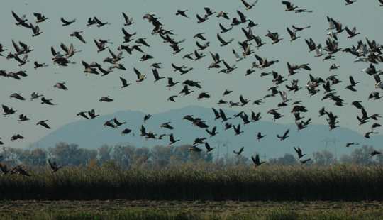 <p>Geese take to the skies above the Yolo Bypass Wildlife Area. Waterfowl and migratory bird regulations are set by the U.S. Fish &amp; Wildlife Service.</p>