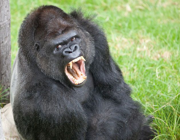 Gorilla mad - photo#1