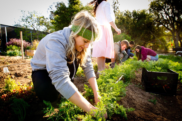 Westmont College students harvest carrots last April from the garden. (Westmont College photo)