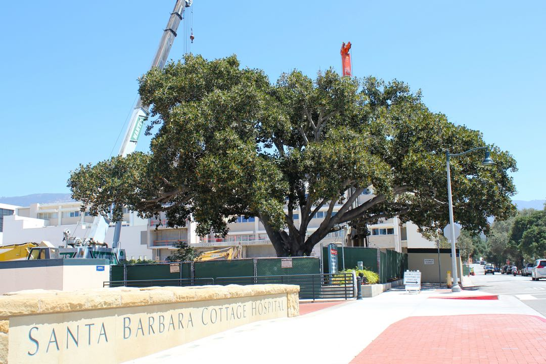 Santa Barbara Cottage Hospital is looking to build a new patient pavilion wing as part of its $700 million rebuilding to meet state earthquake standards. Cottage Health System officials are attempting to save a Moreton Bay Fig Tree at the site
