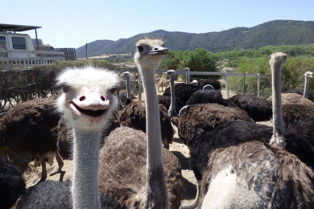 Hello. A curious ostrich sizes up a curious visitor at OstrichLand U.S.A. in Buellton.