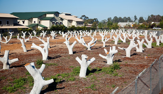 Before: The trees were trimmed last year and the trunks were painted white to reflect the sun so the trees wouldn't begin to sprout at the base.