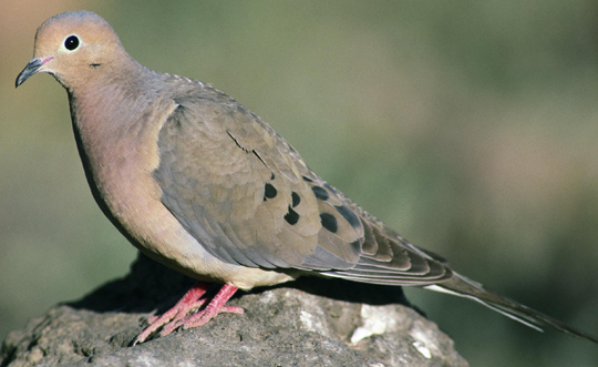 <p>Hunting doves is legal, but be sure to unload the gun before putting it on or in a vehicle along a public roadway. Failing to do so could lead to a citation.</p>