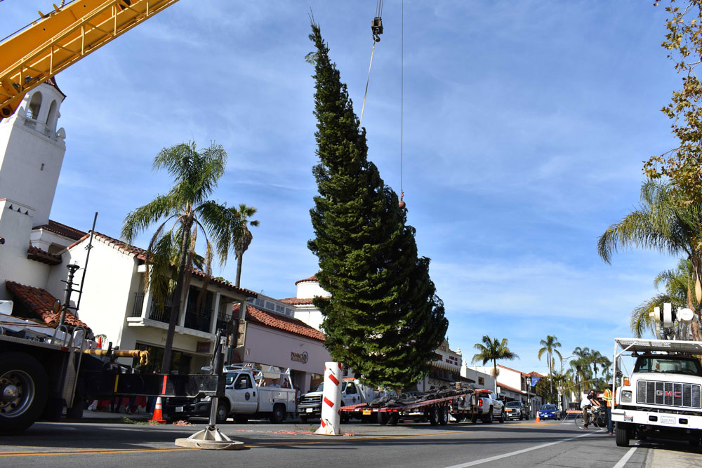 The 42-foot white fir that will grace the intersection of State and Sola streets in downtown Santa Barbara for the holiday season is lifted into place Tuesday.