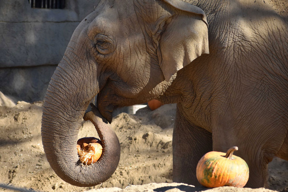 Little Mac enjoys a seasonal treat of a pumpkin at the Santa Barbara Zoo.