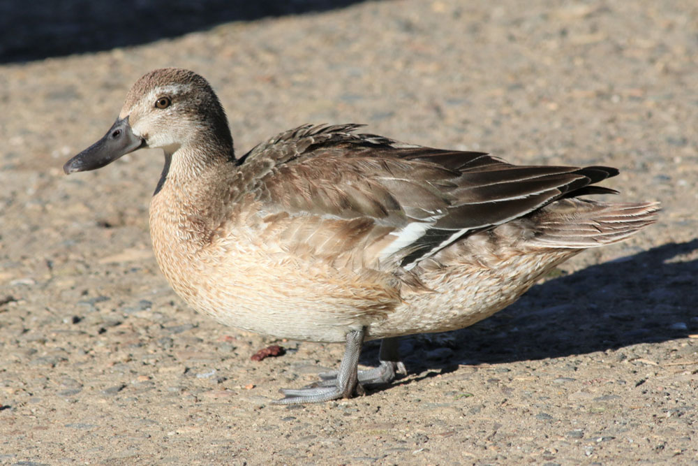 A small duck called a garganey, extremely rare in North America, has been sighted in Santa Maria's Waller Park, bringing flocks of birdwatchers to the area.