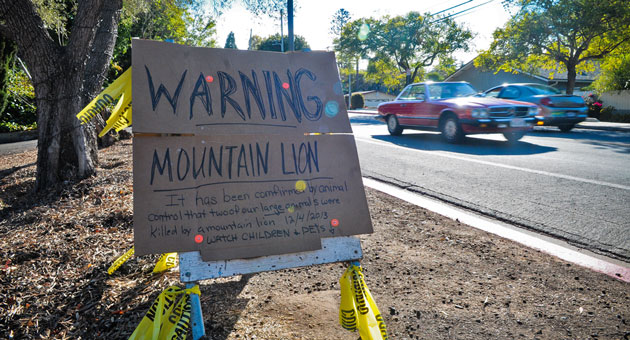 Enter Santa Barbara's North La Cumbre Road neighborhood at your own risk: There may be a mountain lion on the prowl. (Lara Cooper / Noozhawk photo)