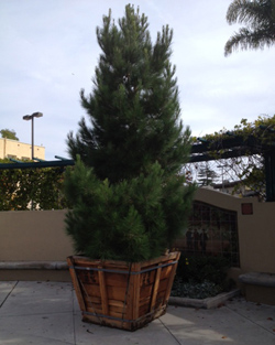 The 18-foot native living pine tree on loan to Hospice of Santa Barbara will be planted in El Carro Park in Carpinteria after the holiday season. (Hospice of Santa Barbara photo)