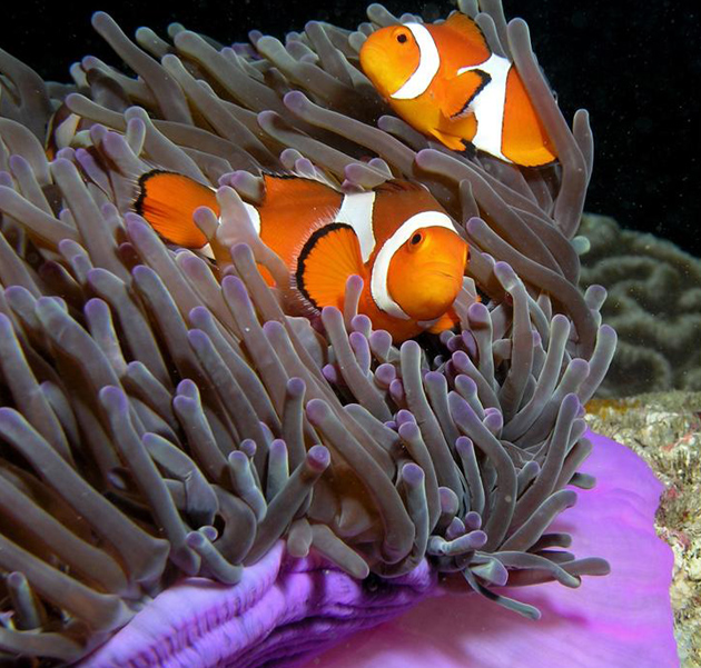 Purple anemone and anemone fish. (UCSB photo)