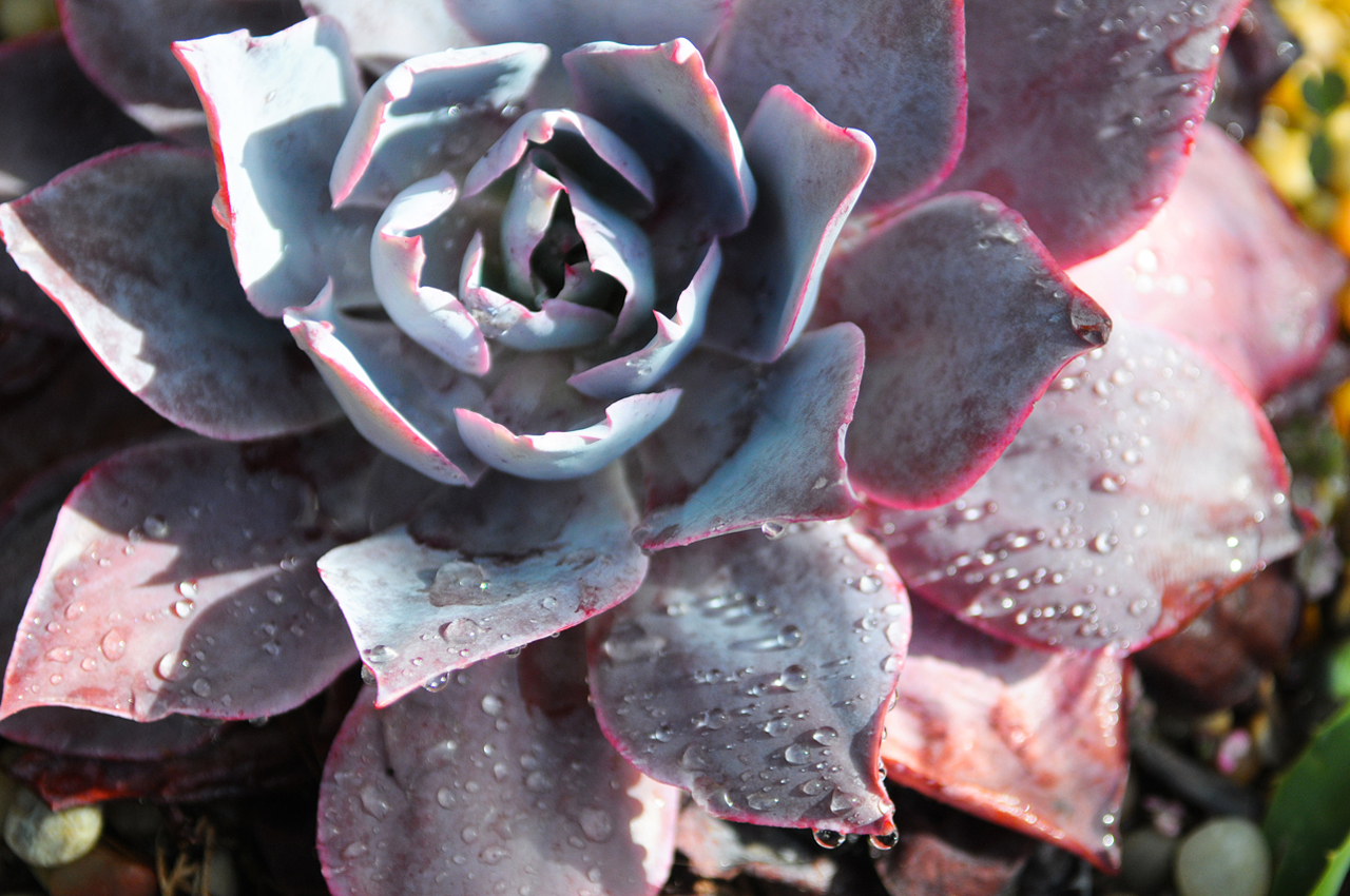 Water droplets hang onto a succulent at the Coral Casino in Montecito.