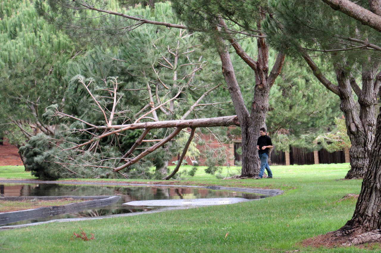 A park visitor on Friday walks by a huge limb that broke off a tree in Waller Park in the Santa Maria Valley.