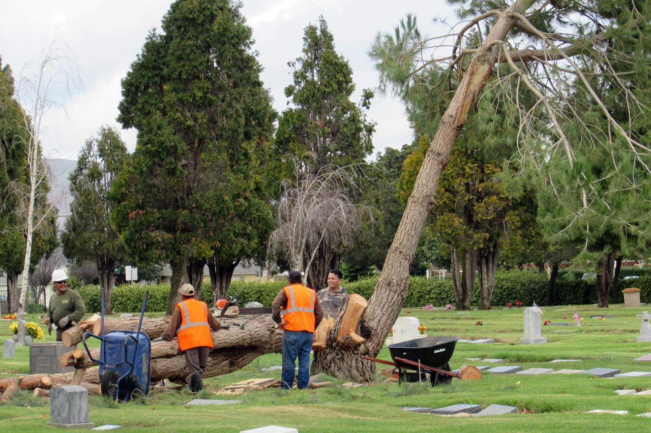 Workers remove a fallen tree at the Santa Maria Cemetery on Friday morning.