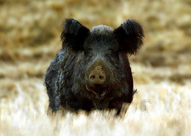 Wild pigs are abundant, and if left unchecked, they will cause significant damage — via their foraging habits — to the state's native plants and animals, agricultural operations, and to parks and recreational areas. (California Department of Fish & Game photo)