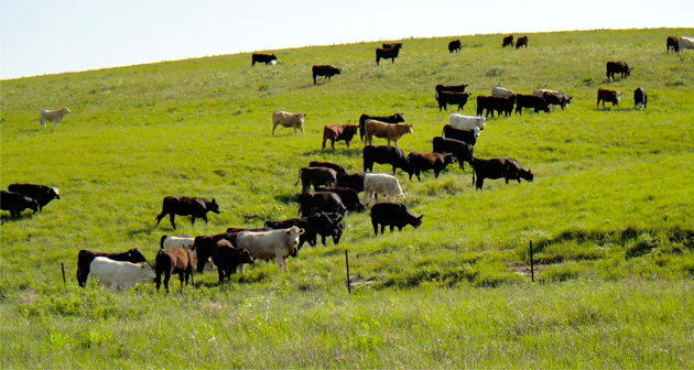 Cattle graze on the land of the Tallgrass Prairie National Preserve in the Flint Hills region of Kansas. Renewed over time by fire and cattle grazing, this 10,894-acre tract of land was established as a national park in 1996.