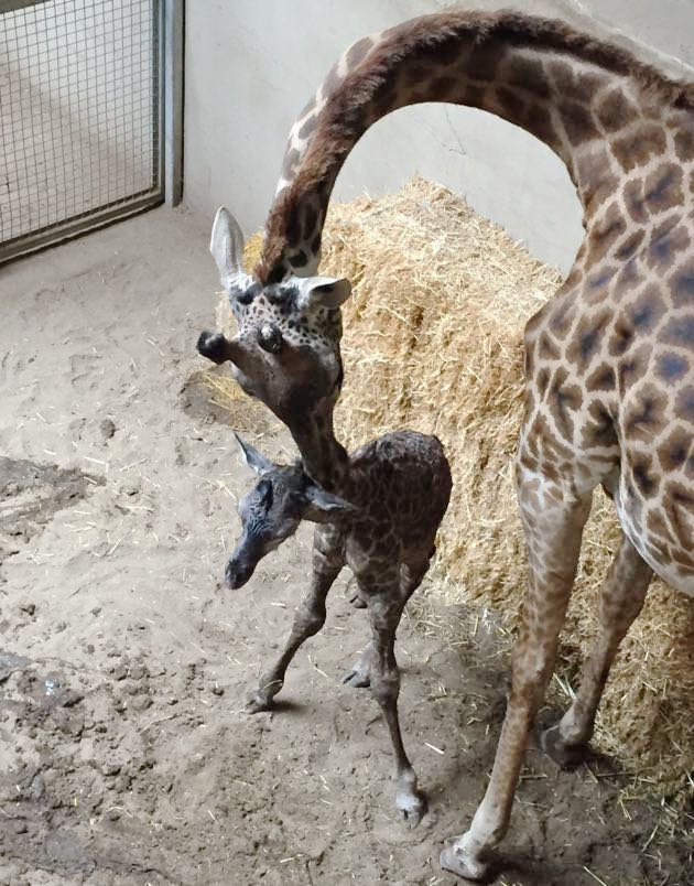 Betty Lou tends to her newborn calf, Parker, at the Santa Barbara Zoo on Saturday. The baby giraffe — Betty Lou's third calf — was born earlier in the day.