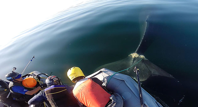 <p>Crews work near Goleta to free a humpback whale that had become entangled in fishing gear. The animal was finally freed Thursday after being tracked for several weeks.</p>