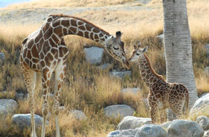 A mom and her baby share a tender moment in the giraffe exhibit at The Living Desert in Palm Desert.