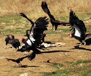 A golden eagle asserts its place in the avian pecking order by scattering a flock of California condors gathered around a carcass in Pinnacles National Monument.