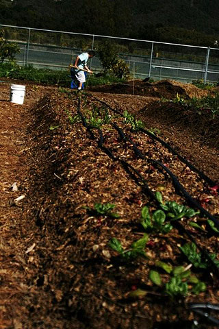 A Carpinteria High student with a break in the school action, digs into a compost pile in the campus organic garden.